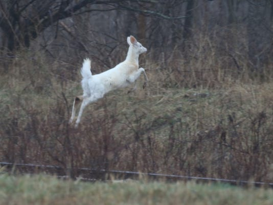 Seneca white deer