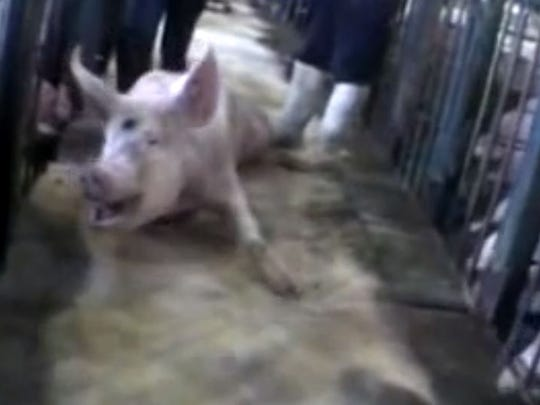 This screen grab of an injured pig comes from an undercover PETA investigation that documented abuse and other violations at an Iowa hog farm in 2008.