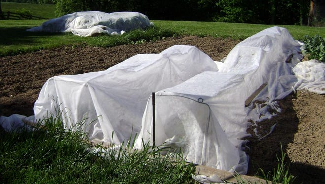 If row covers are used against squash bugs, make sure they are very secure. Remove at flowering time for pollination.