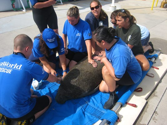 SeaWorld_Animal_Rescue_Team_caring_for_500th_Rescued_Manatee