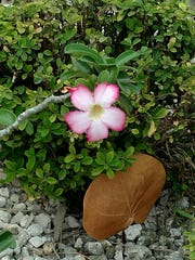 A flower blooms at Rotary Park in Cape Coral. An Introduction