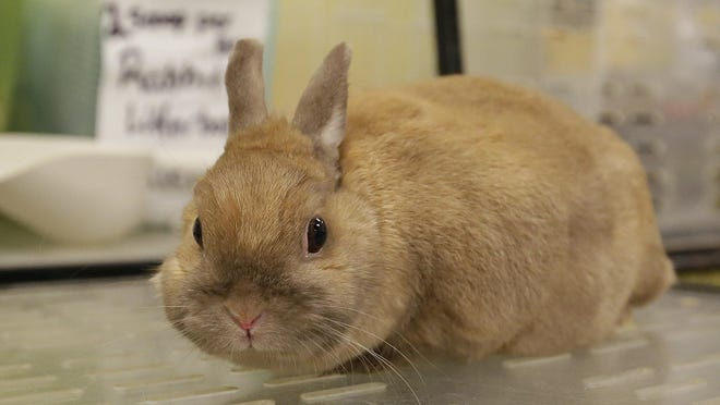 Cinnamon is a 2-year-old female Netherland Dwarf rabbit. She is great with kids and very gentle. She was surrendered by her previous owner.