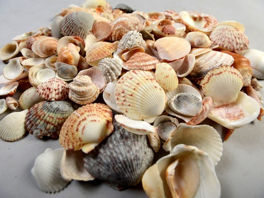 A variety of shells including scallops (calico, bay and zig zag), bittersweets, spiny jewel boxes, Gibb's clams, cockles, lettered olives, ceriths, augers and imperial venus shells.