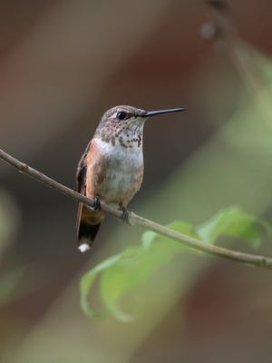 A female Rufus hummingbird in Fairview, Tennessee.