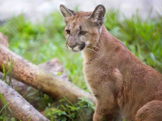 Athena, a 6-month-old Florida panther kitten, sits in her enclosure at the Naples Zoo on Friday, Dec. 15, 2017. In June, Athena was found alone in Big Cypress National Preserve. Attempts to reunite her with her mother and siblings failed, so she was taken to the zoo, where she will share an exhibit with Uno, a blind panther.