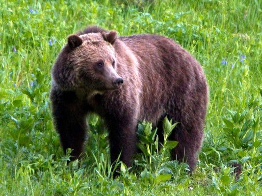 AP GRIZZLY BEARS A FILE USA WY