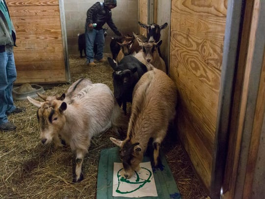 Goats at Binder Park Zoo directed by Dominick Edwards across paint cover paper to created a painting with hoof prints.