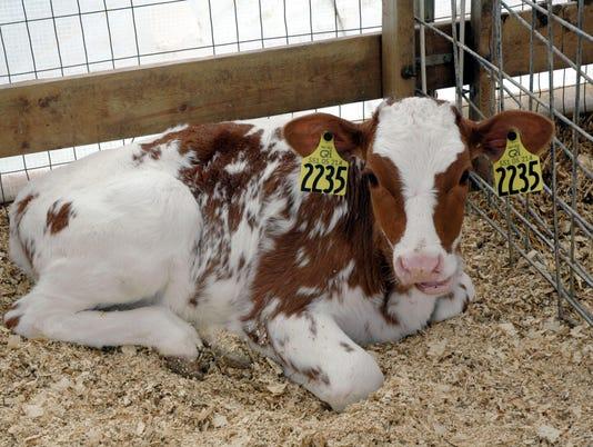 WSF-0525-Carola-calves-flyby-cows-078.jpg