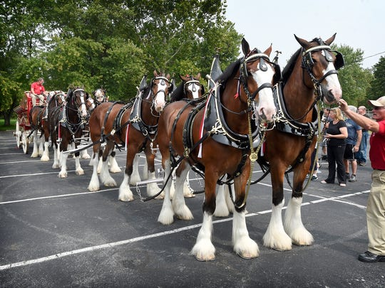 The iconic Budweiser Clydesdales draft horses made