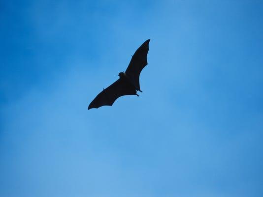 ITH Bat flying in sky