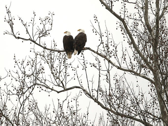 A pair of bald eagles rest on a tree overlooking Whitewater