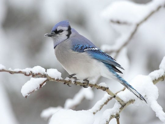 A blue jay in winter.