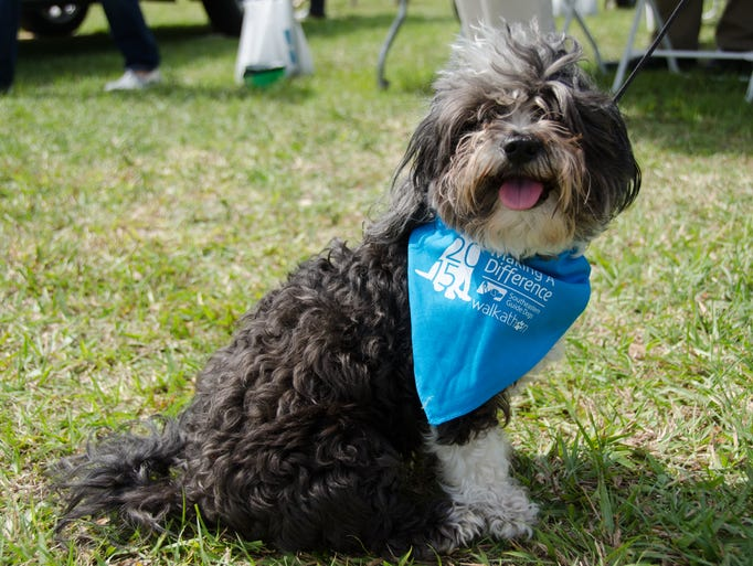 A curly puppy happily shows off its bandana at the