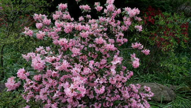 Azaleas can be cut back hard after they bloom. These are at Rocky Hills in Chappaqua, which has its next Open Day on May 24.