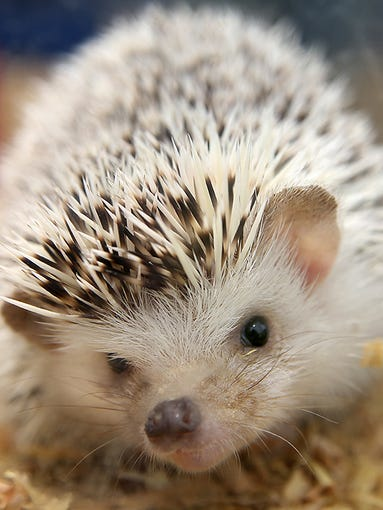 One of two hedgehogs taken. Muncie Animal Control officers raided a storefront turned residence that contained many exotic animals and hundreds of mice and rats.