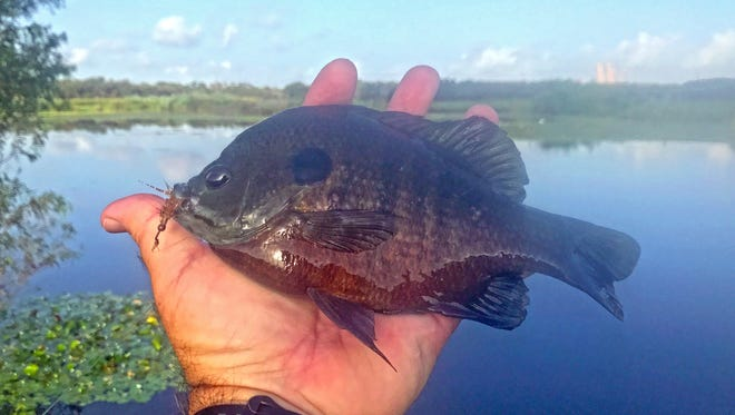 As a kid, we called bluegill of this size a bull bream. I caught this one at Live Oak Park in Ingleside.