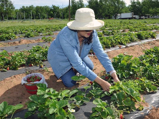 Belinda Hernandez spent her Thursday morning picking strawberries at the Young's Orchard and Berry Farm in Charlie.
