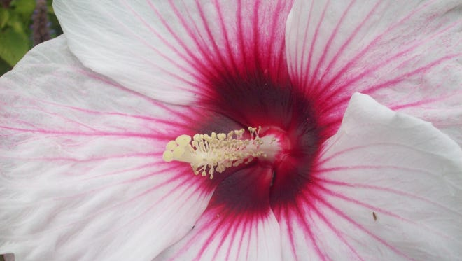 One of the biggest blooms of summer and fall belongs to hardy hibiscus, available in shades of pink, red and white.
