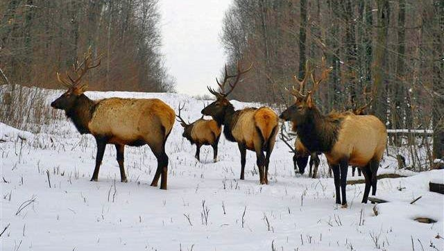 The goal of the reintroduction project is to establish a second elk herd in central Wisconsin, similar to the existing herd in northern Wisconsin--pictured here earlier this winter--which wildlife biologists hope to bolster with future reintroduction efforts.