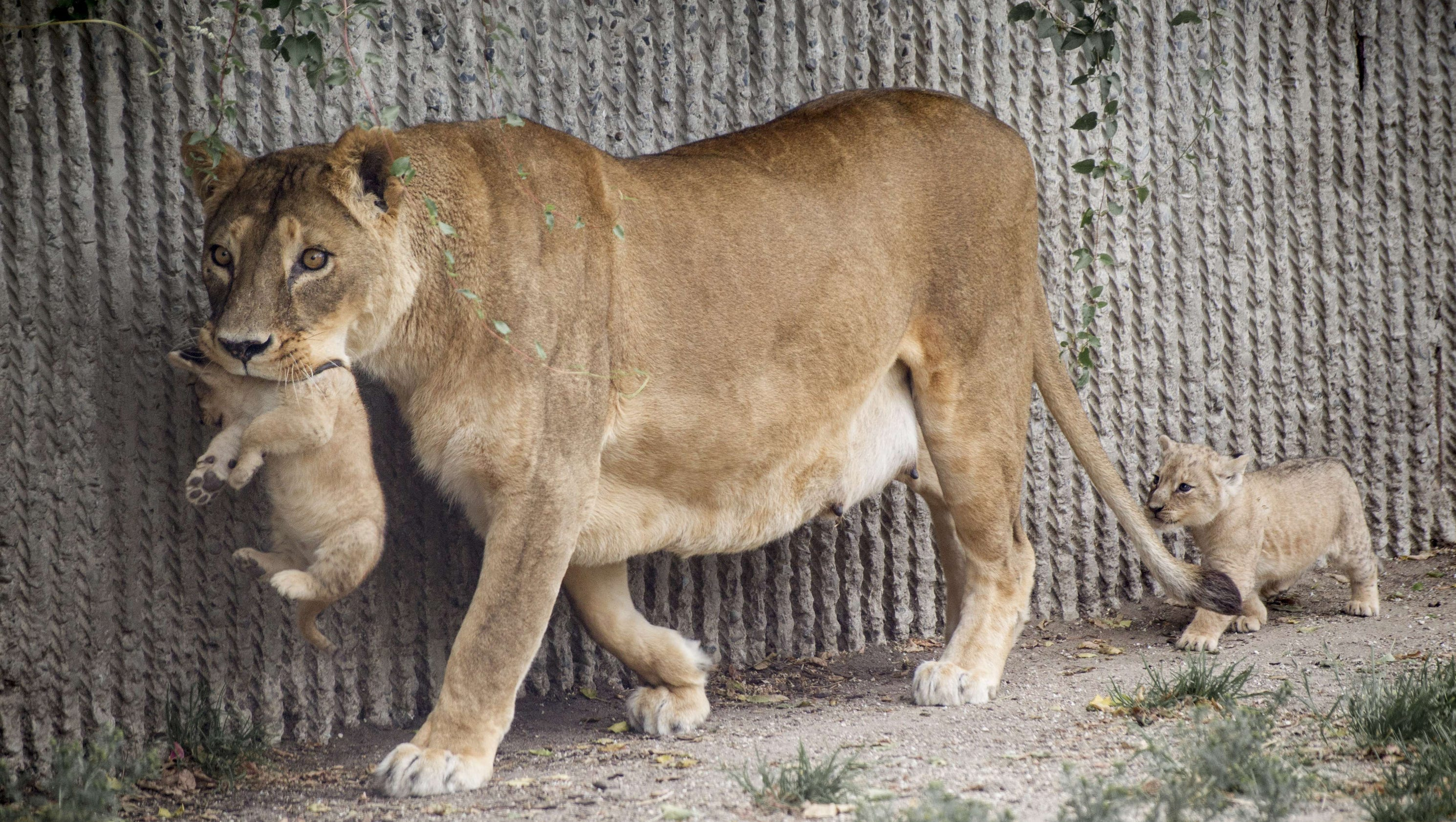 story news world danish zoo plans publicly dissect lion