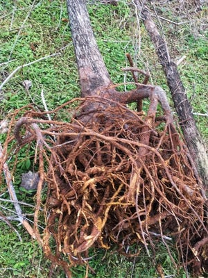 Root or pot bound trees are doomed to failure. They will either fail to grow and eventually die as the tree pictured or will never establish a root system strong enough to support the mature tree.