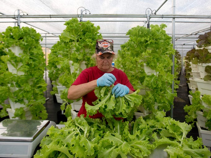 Mary Johnson, a harvest supervisor for Florida Urban Organics in Fort Myers harvests lettuce.  Florida Urban Organics which is under it's parent company Selovita earned a GlobalG.A.P. certification.
