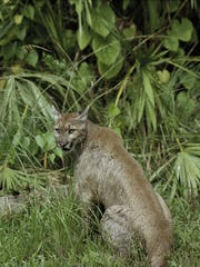 Mississippi Department of Wildlife, Fisheries and Parks has fielded many calls about panther sightings.