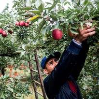 Michigan apple growers could lose millions without migrant workers