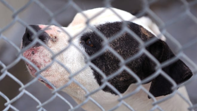 A dog peers from behind cages at Animal Control. The numbers of dogs to be adopted, or taken by rescues, has gone up dramatically at the city shelter in the last few years.