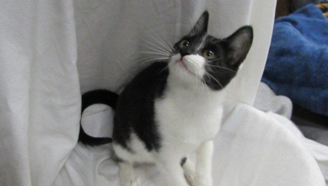 Utah a 1-year-old, male tuxedo kitty born in Raining Cats N Dogs' care. Friendly and socialized, he does well with most other cats and some dogs. Raining Cats N Dogs adoptions include spay/neuter services, vaccines and vetting as needed. Call 232-6299. Go to http://rainingcatsndogs.rescuegroups.org.