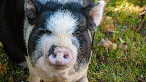 A Kingston Township, PA, resident is fighting to keep Gemma, an 11-month-old pot-bellied Vietnamese pig.