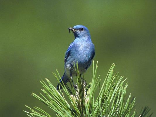 SAL0619-Bluebird Man