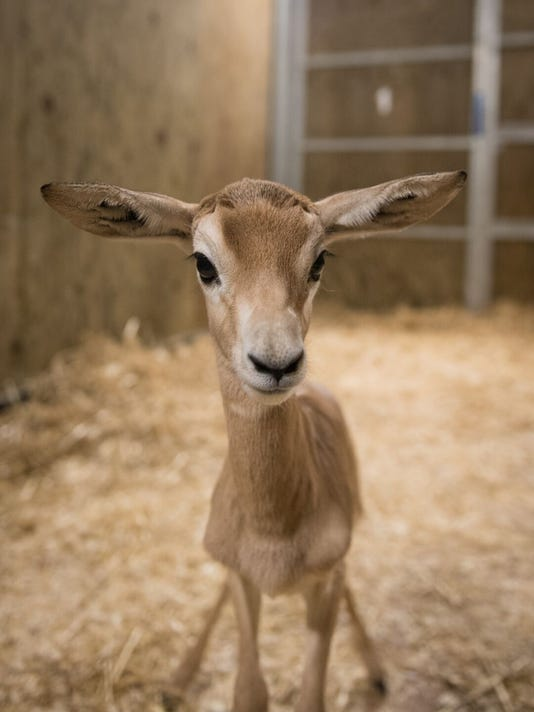 636535443979009981-Dama-Gazelle-Calf-2-4438---Grahm-S.-Jones-Columbus-Zoo-and-Aquarium-preview.jpeg