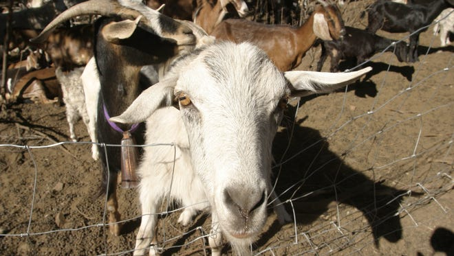 A goat from the Navajo reservation.