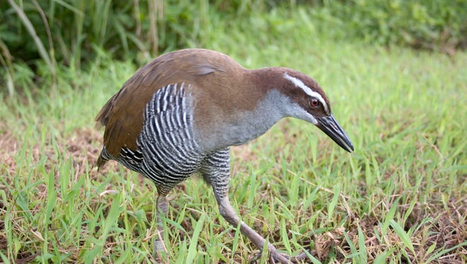 A Guam rail, or ko'ko', is shown in this file photo.
