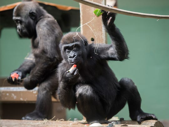 Gorillas keep cool with frozen watermelon pieces at