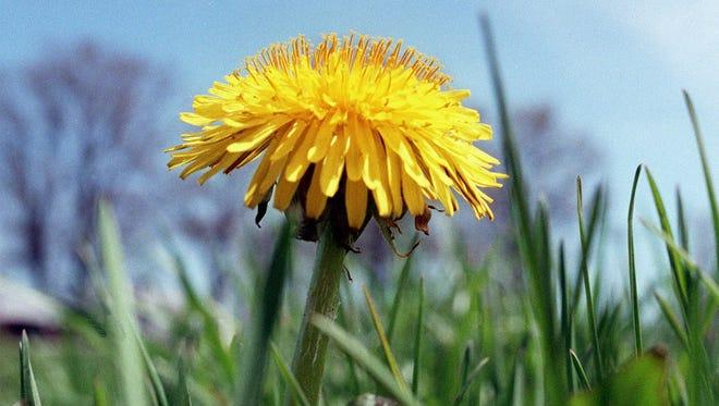 A dandelion soaks up the sun.