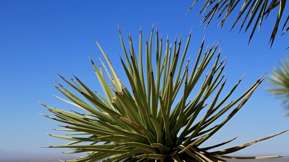 The bayonet-shaped leaves of Joshua trees grow in spirals from the apex of the plant's stem along the Mojave Desert Joshua Tree Road Scenic Backway in Beaver Dam Wash National Conservation Area.