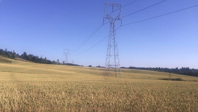 Power lines pull through wheat field going toward golden during summer's first week in the foothills.