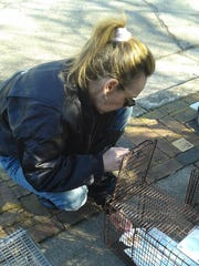 Cheryl Phillips of Northville adds tuna to her cat trap.