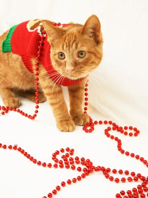Willy is among the 12 festive furbabies looking for a home for the holidays at Happily Ever After Animal Sanctuary's Green Bay Adoption Center.