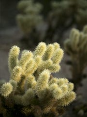 Cholla cactus along the Stargazer Trail in the San Tan Mountain Regional Park outside of Queen Creek on November 13, 2017.