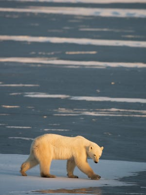 A polar bear walks on the shallow, frozen waters while waiting for the Hudson Bay to freeze outside Churchill, Manitoba, Canada.