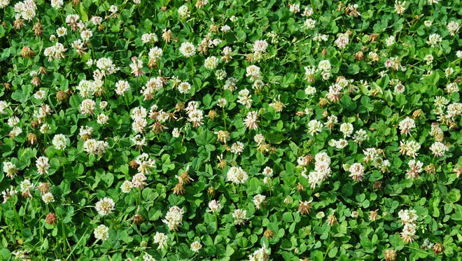 Clover can be a friend or a lawn weed.