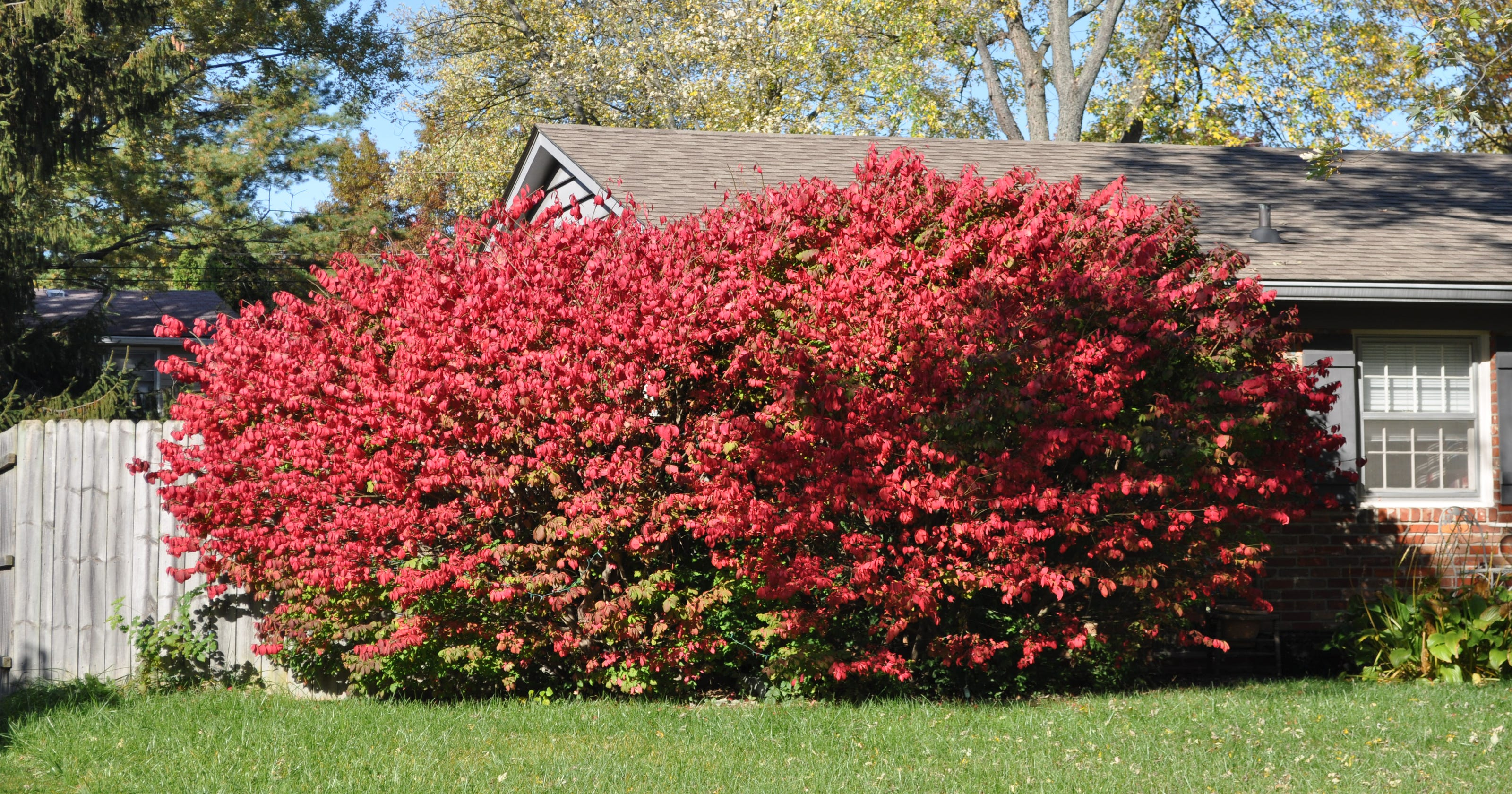 Pruning Will Keep Dwarf Burning Bushes Small