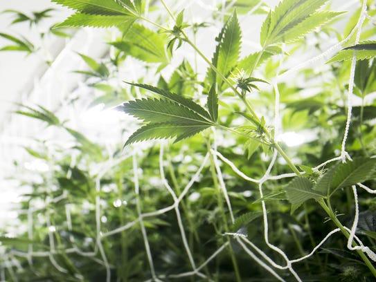 Plants in a grow room at a marijuana farm supplying