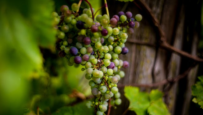 Grapes on the vine at Trout Springs Winery.