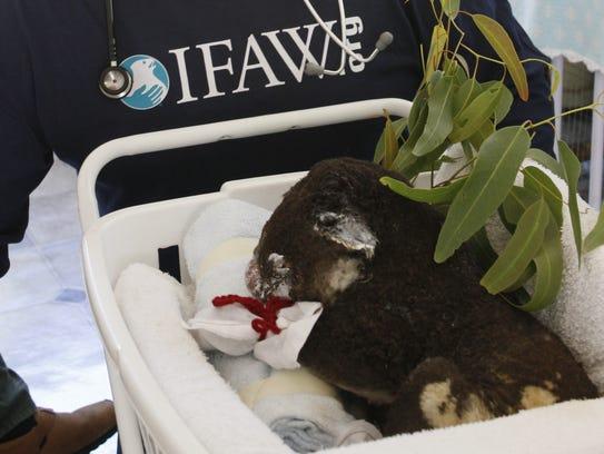 An IFAW worker assists a burned koala.