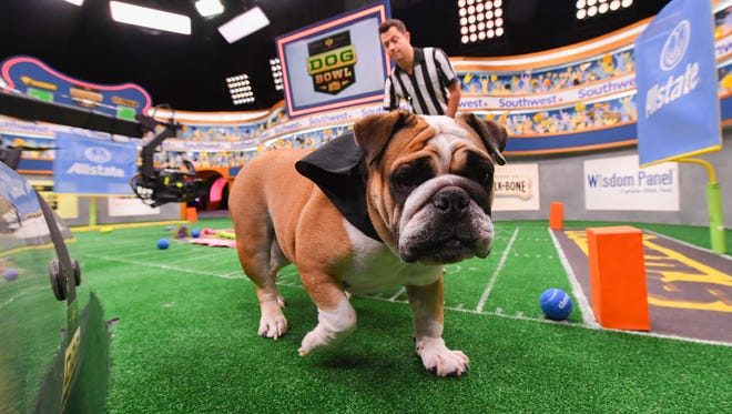 Talula, an English Bulldog, takes the field during Animal Planet's inaugural 'Dog Bowl,' a spinoff of the cuddly 'Puppy Bowl' airing Super Bowl weekend.
