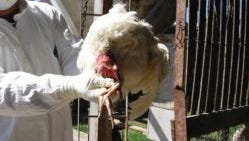 A bird twisting its neck is one of the symptoms of Newcastle disease.